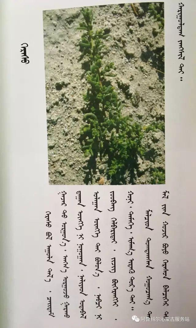 100 多种草的蒙古文介绍 第44张 100 多种草的蒙古文介绍 蒙古文库