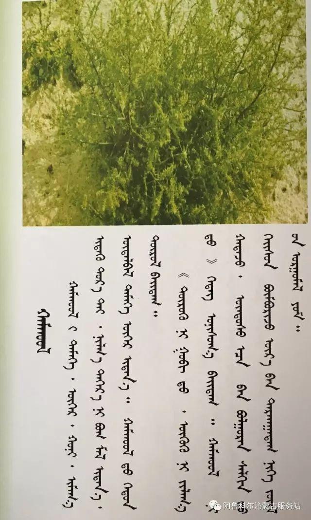 100 多种草的蒙古文介绍 第50张 100 多种草的蒙古文介绍 蒙古文库