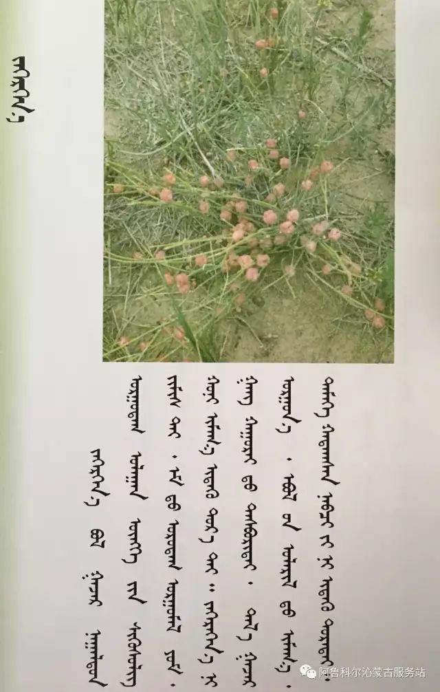 100 多种草的蒙古文介绍 第56张 100 多种草的蒙古文介绍 蒙古文库