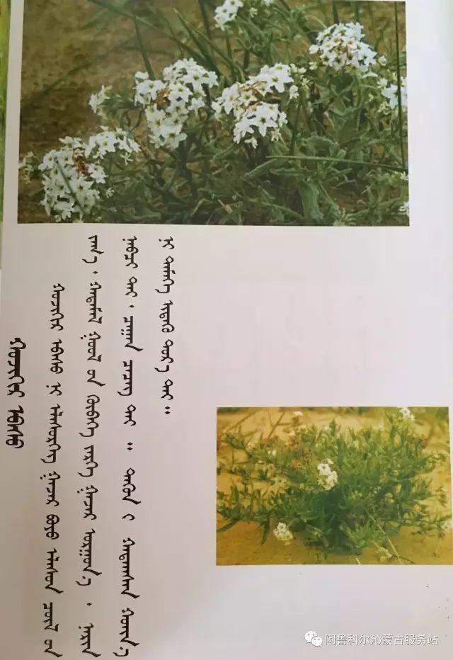 100 多种草的蒙古文介绍 第63张 100 多种草的蒙古文介绍 蒙古文库