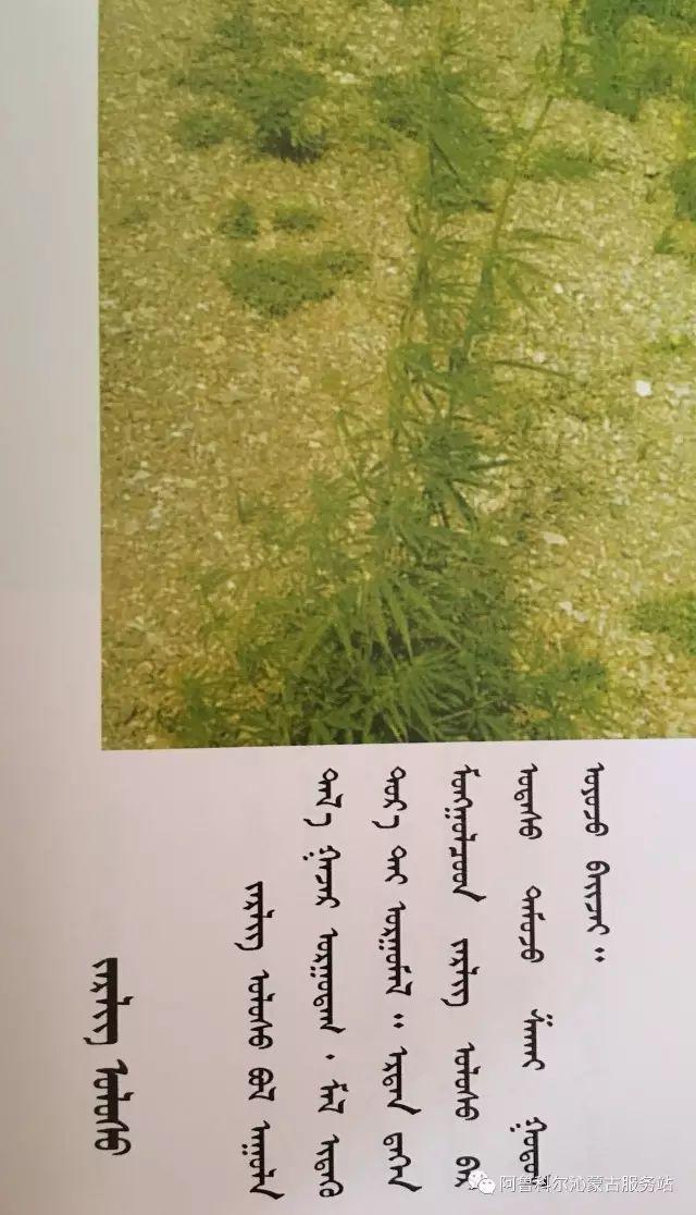 100 多种草的蒙古文介绍 第69张 100 多种草的蒙古文介绍 蒙古文库