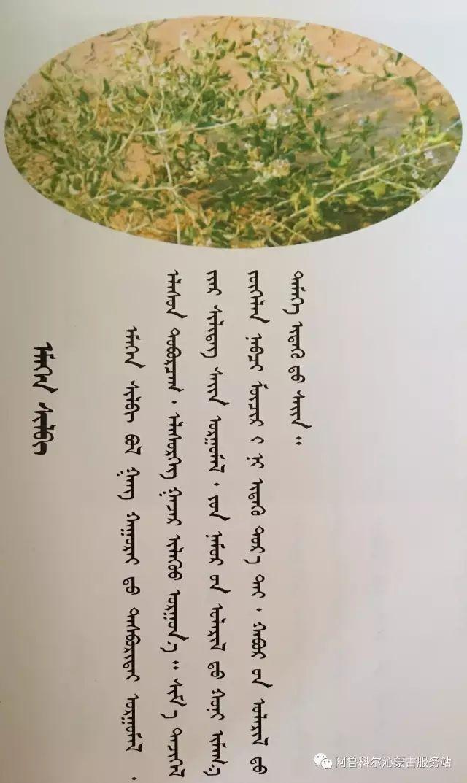 100 多种草的蒙古文介绍 第67张 100 多种草的蒙古文介绍 蒙古文库
