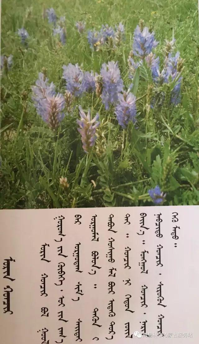 100 多种草的蒙古文介绍 第75张 100 多种草的蒙古文介绍 蒙古文库