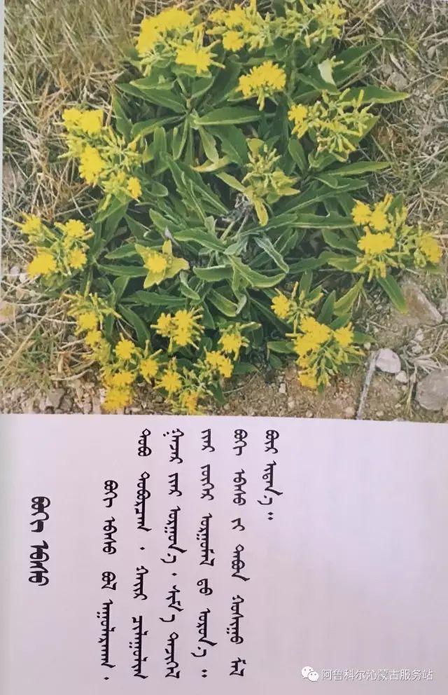 100 多种草的蒙古文介绍 第78张 100 多种草的蒙古文介绍 蒙古文库
