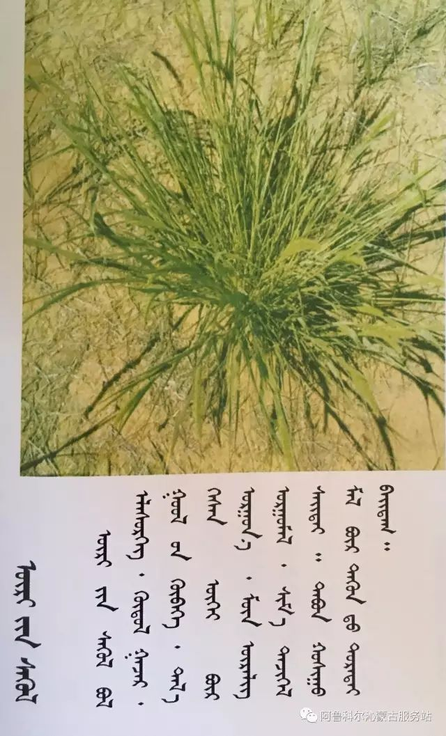 100 多种草的蒙古文介绍 第83张 100 多种草的蒙古文介绍 蒙古文库