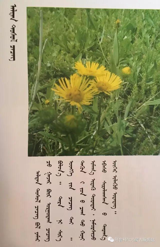 100 多种草的蒙古文介绍 第81张 100 多种草的蒙古文介绍 蒙古文库