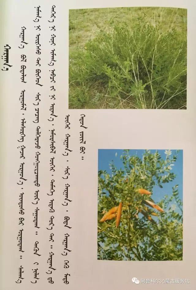 100 多种草的蒙古文介绍 第86张 100 多种草的蒙古文介绍 蒙古文库