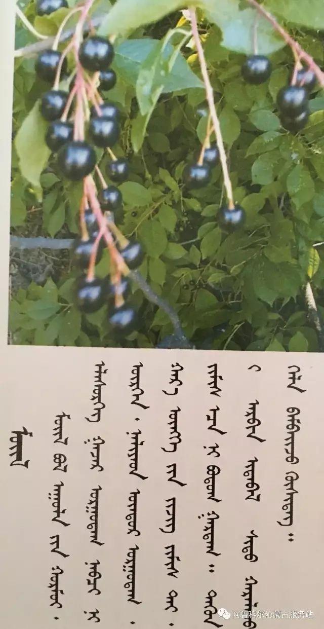 100 多种草的蒙古文介绍 第90张 100 多种草的蒙古文介绍 蒙古文库