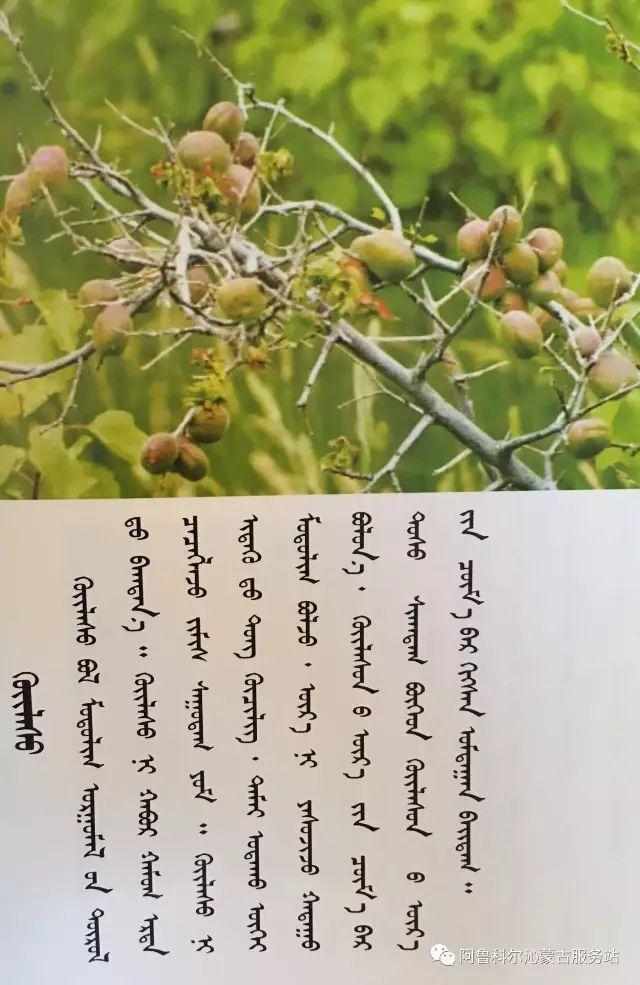 100 多种草的蒙古文介绍 第85张 100 多种草的蒙古文介绍 蒙古文库
