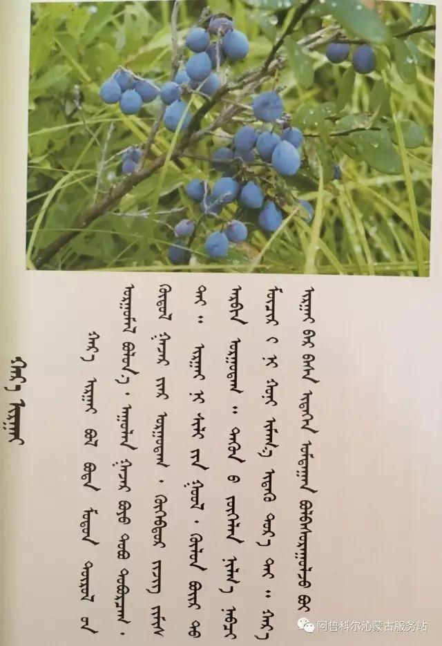 100 多种草的蒙古文介绍 第92张 100 多种草的蒙古文介绍 蒙古文库