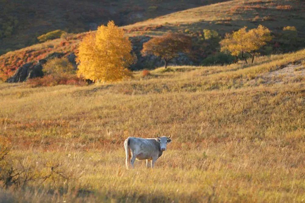 秋天的乌珠穆沁草原,太美了! 第17张 秋天的乌珠穆沁草原,太美了! 蒙古文化