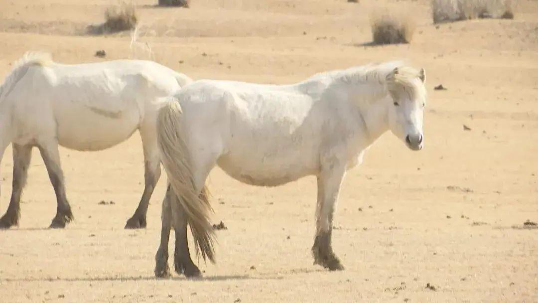 草原白马——乌珠穆沁的骄傲 第1张