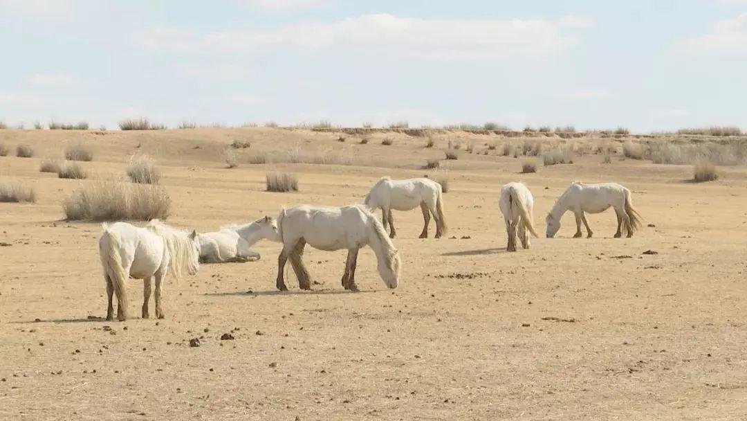 草原白马——乌珠穆沁的骄傲 第3张