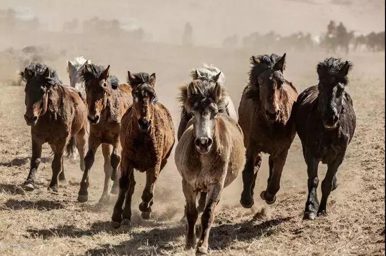 """阿巴嘎""""阿都沁""""马文化那达慕:马背上的文化传承(组图) 第5张"""