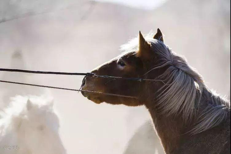 """阿巴嘎""""阿都沁""""马文化那达慕:马背上的文化传承(组图) 第12张"""