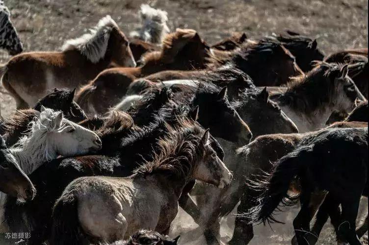 """阿巴嘎""""阿都沁""""马文化那达慕:马背上的文化传承(组图) 第15张"""