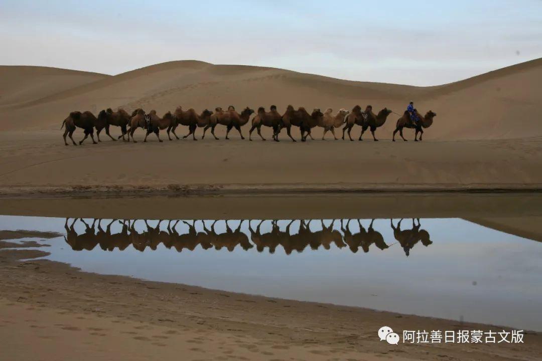 沙金达来摄影作品:沙漠之舟 第3张