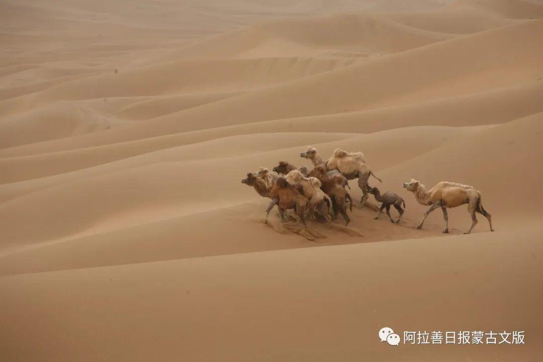 沙金达来摄影作品:沙漠之舟 第12张