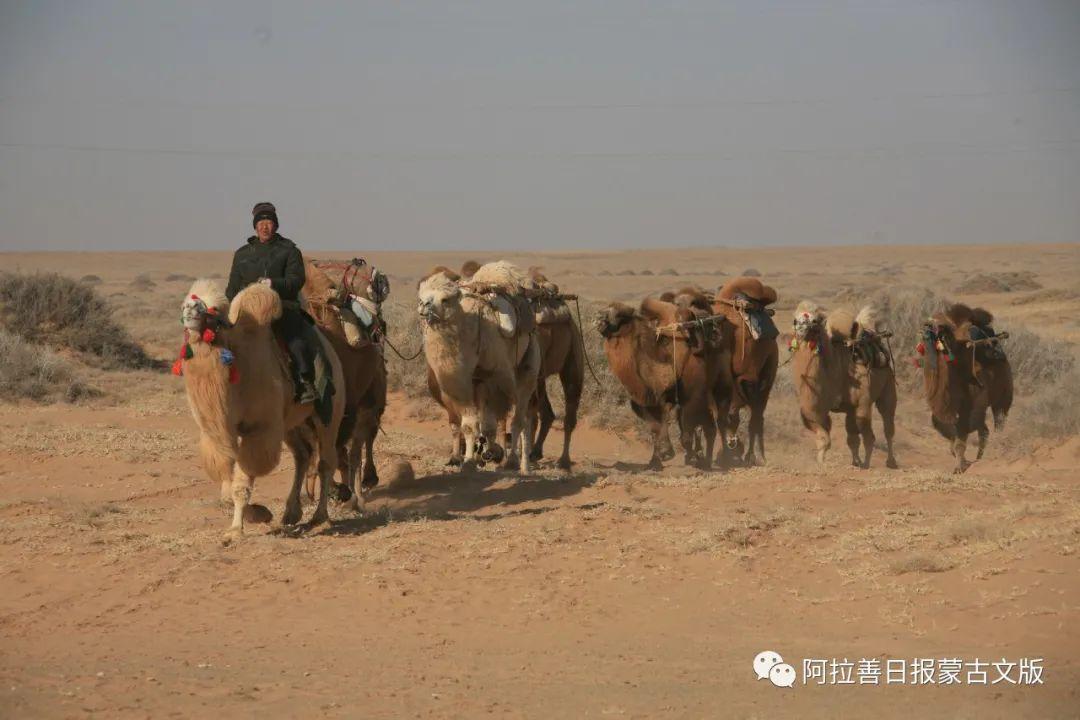 沙金达来摄影作品:沙漠之舟 第14张