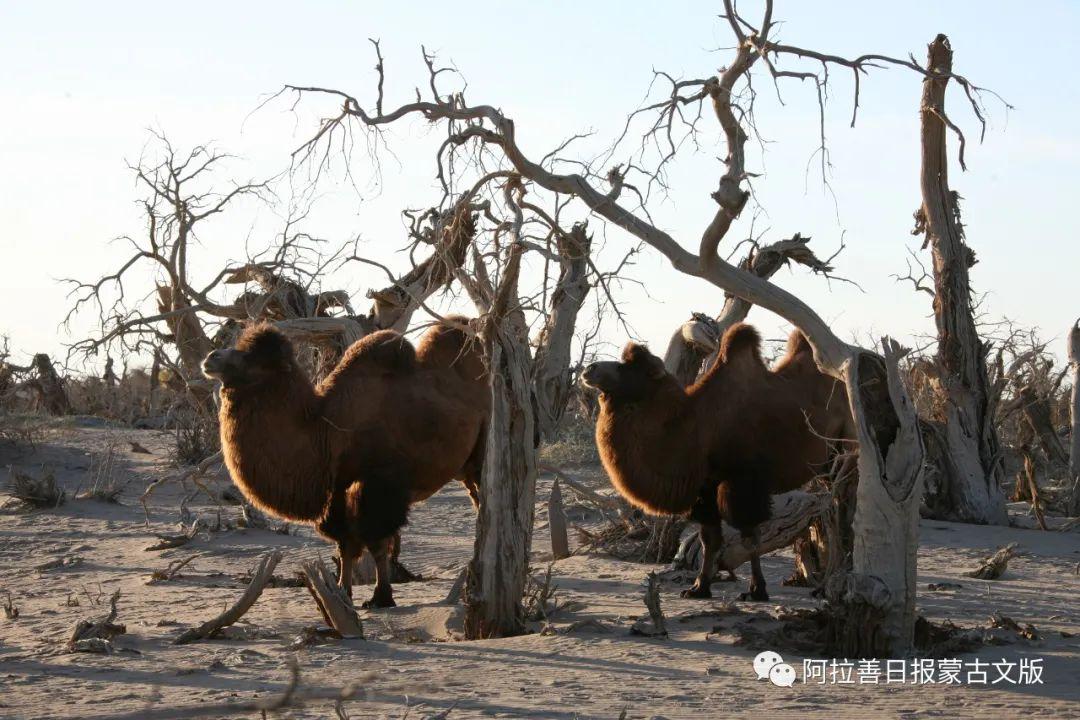 沙金达来摄影作品:沙漠之舟 第16张