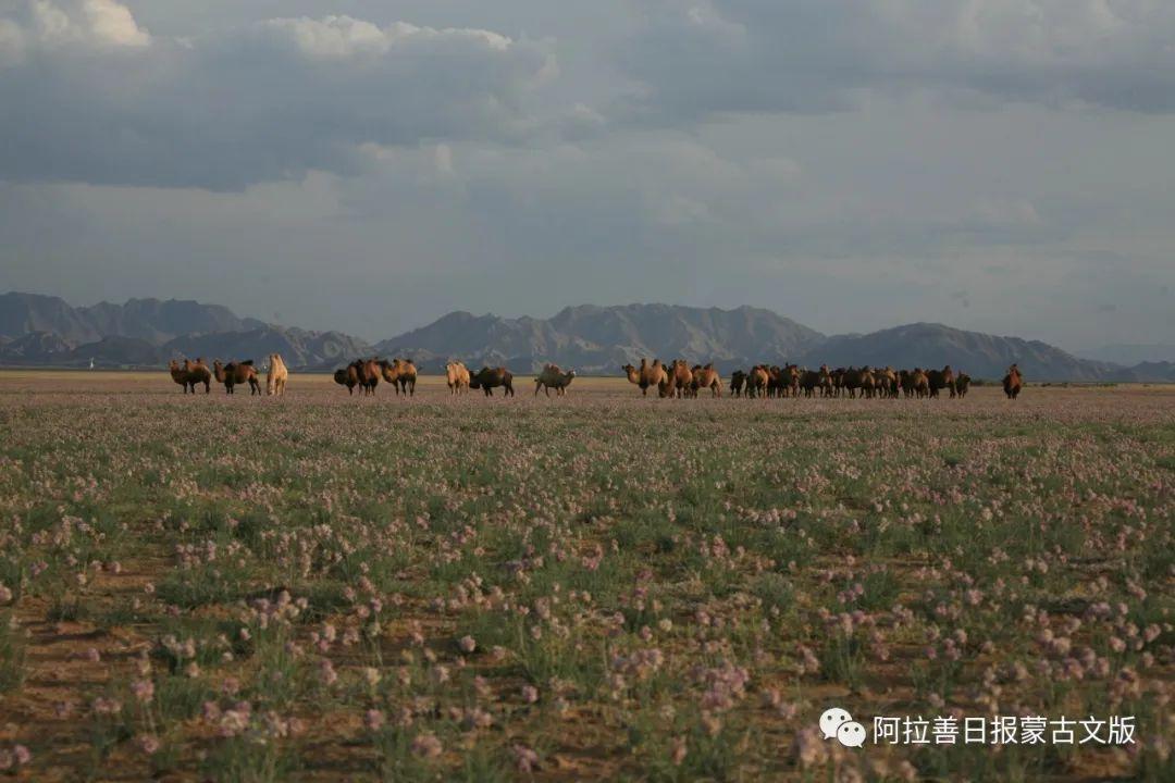 沙金达来摄影作品:沙漠之舟 第17张