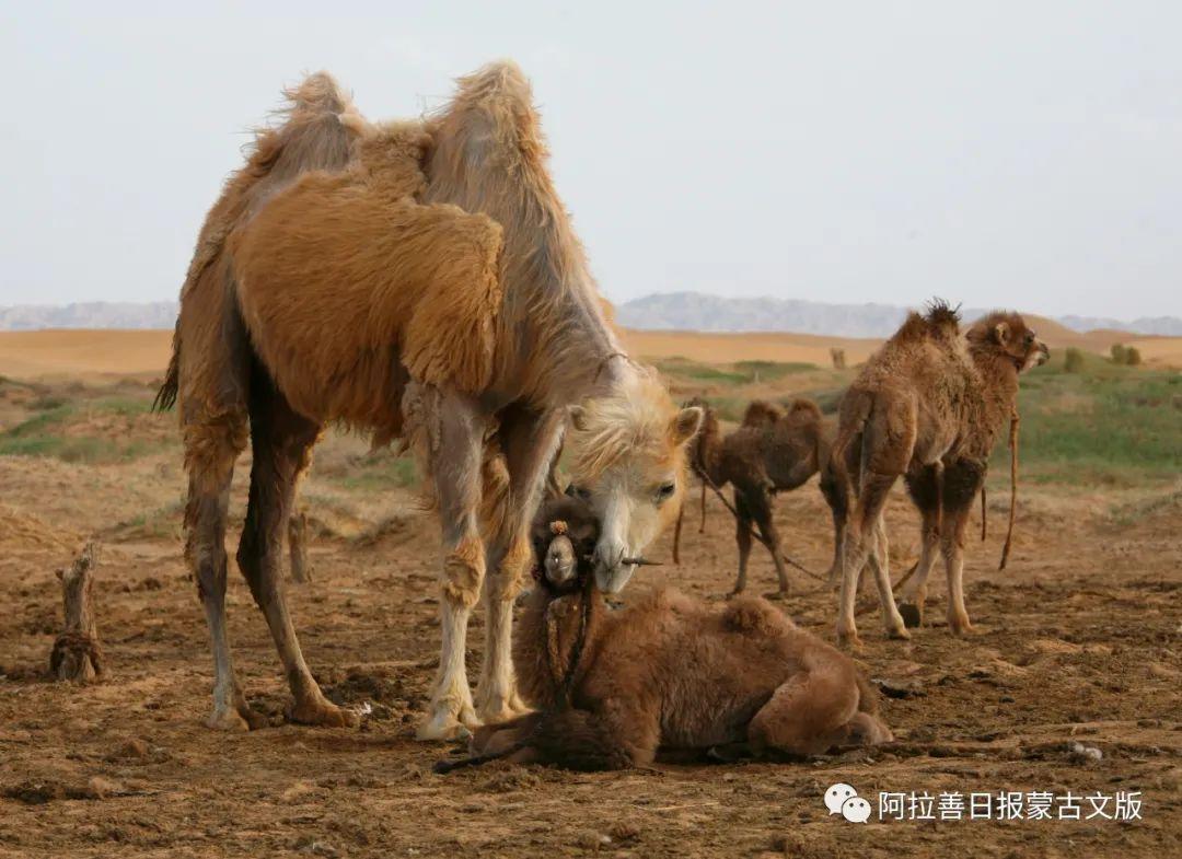 沙金达来摄影作品:沙漠之舟 第21张