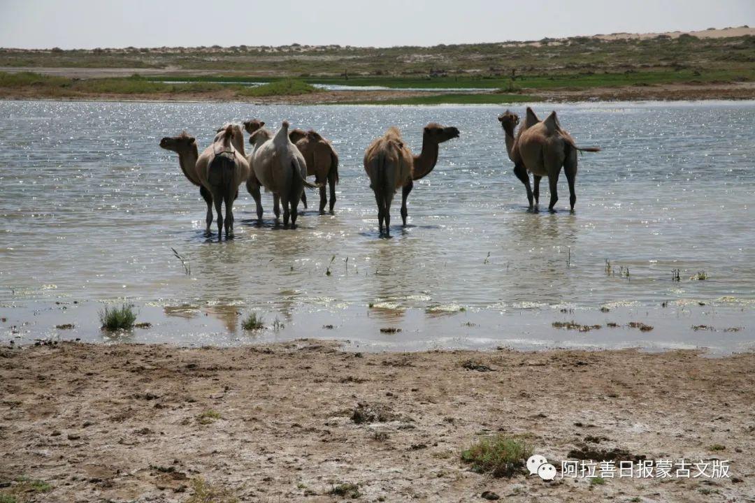 沙金达来摄影作品:沙漠之舟 第19张