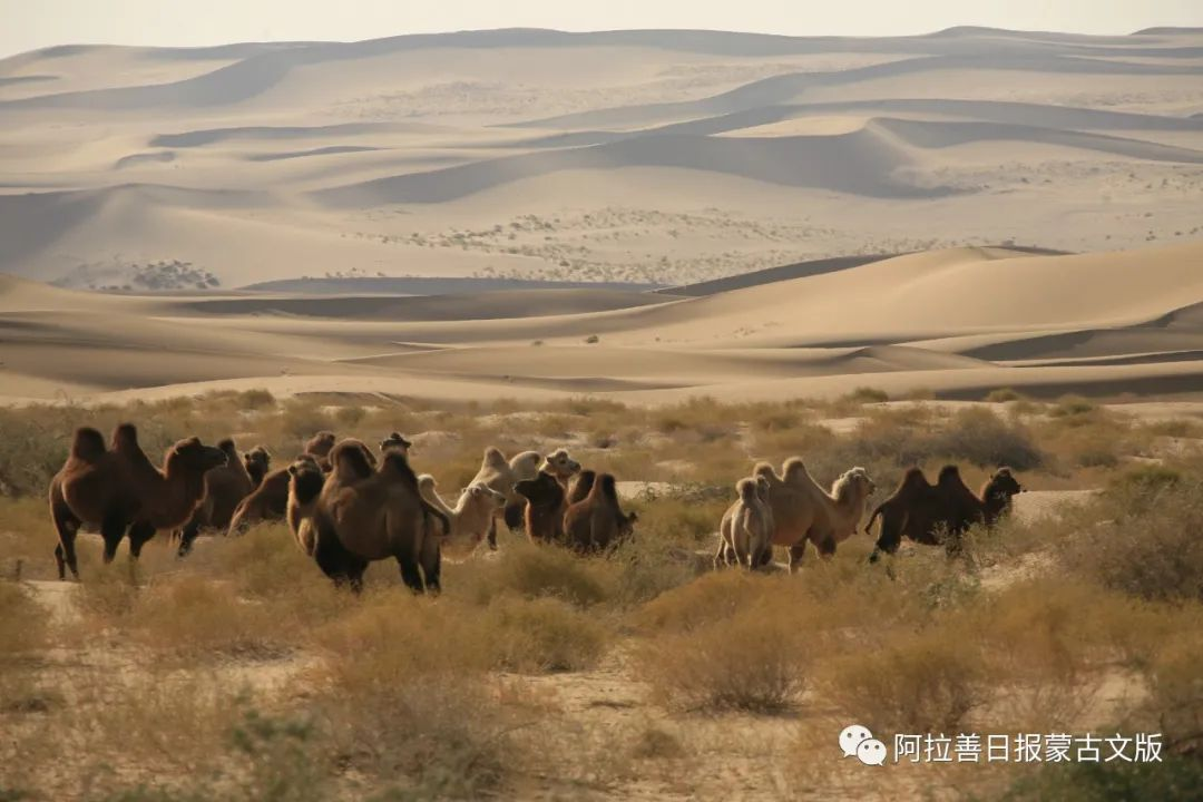 沙金达来摄影作品:沙漠之舟 第24张